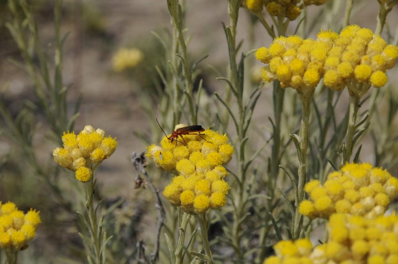 Pianta di camuciolo (Helichrysum stoechas)